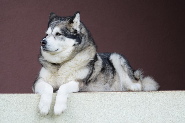 Alaskan Malamutes: 5 Things You May Not Know